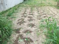 芋植付け畝
