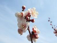南高梅8分咲き