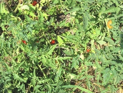 自生トマト
