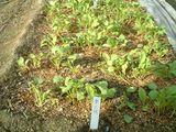葉大根の幼苗