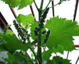 葡萄の幼果1