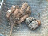 山芋と大和芋