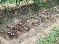 キャベツの植え付け