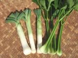 セロリの初収穫