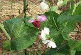 赤花・白花