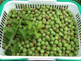 小梅の収穫2