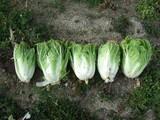 五頭白菜収穫1
