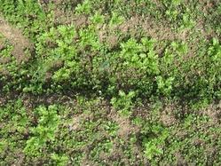 春のワサビ菜