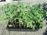 黒トマトの苗