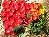 ハバネロ収穫