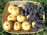 梨葡萄初収穫