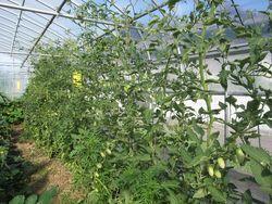 ハウス内トマト