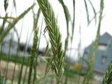 ライ麦の穂