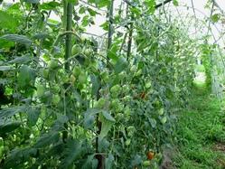 トンネルトマト