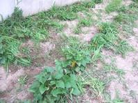 さつま芋畝