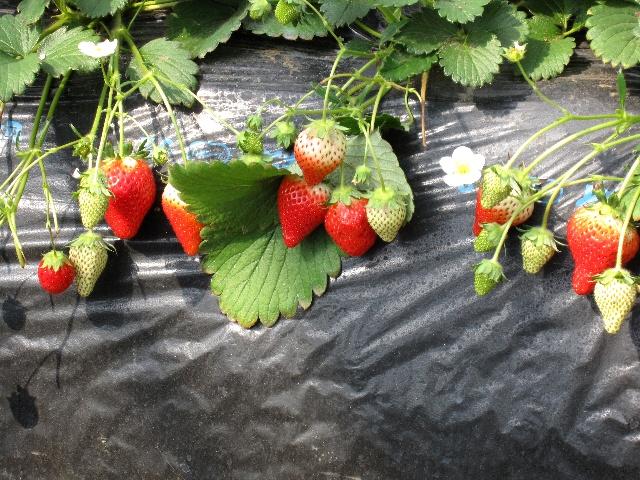 イチゴの画像 p1_23