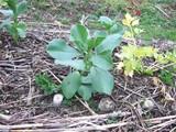 苗からの空豆