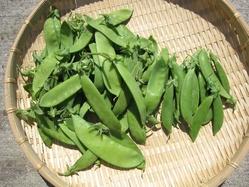 サヤエンドウ収穫