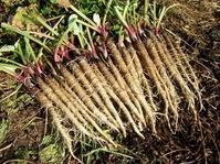 サラダゴボウ収穫