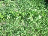 草むらの小豆