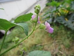 蔓有りインゲンの花