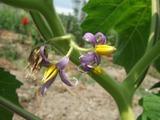 カナリアナスの花