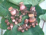 赤芽里芋2