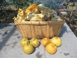 幸水梨収穫