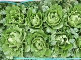 巻き始めたミニ白菜