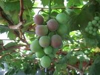 葡萄の色付き始め