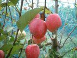 完熟姫リンゴ
