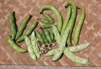 豆大収穫1