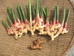 金時生姜収穫
