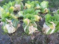 白菜冬囲い