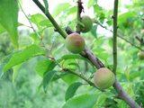 小梅の収穫1