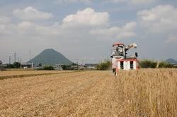 小麦刈り取り