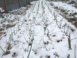 玉ネギの雪景色