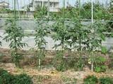 黒トマト1