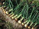 ホーム玉ネギ収穫