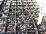 水茄子発芽