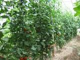 トマトの畝
