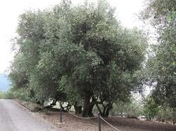 大木オリーブ