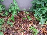 ミョウガの芽