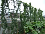 山芋の茂り