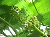 葡萄の開花