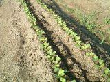 大根1回目の土寄せ