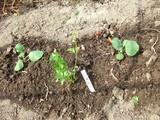 キャベツ定植