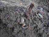 山芋カエル