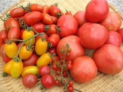 トマト本格収穫