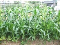 トウモロコシの成長